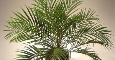 финик пальма