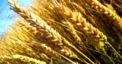 злаки, ферма, сельское хозяйство