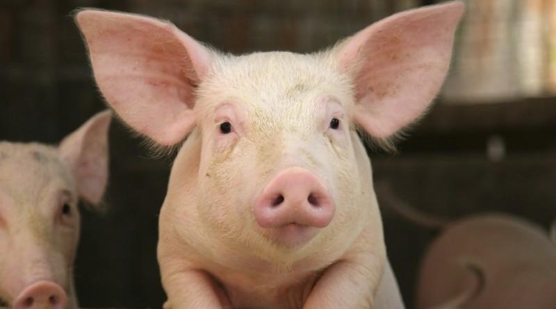 поросенок свинья скотина ферма