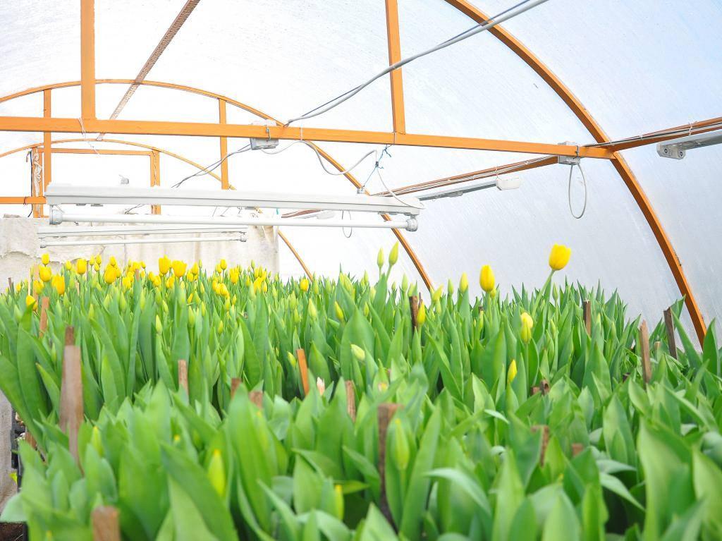 Выращиваем тюльпаны из луковиц в домашних условиях 36