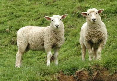 Овцеводство: разведение овец и баранов как бизнес