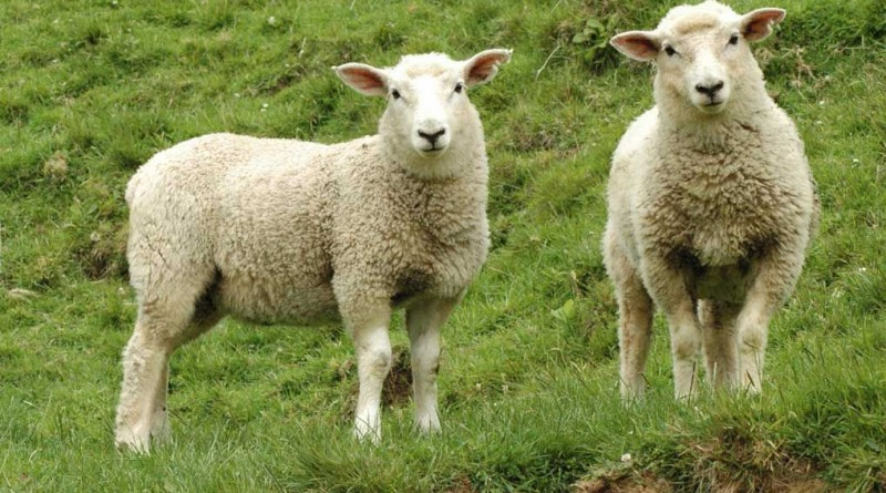 баран овца