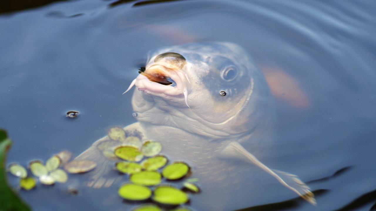 карп рыба