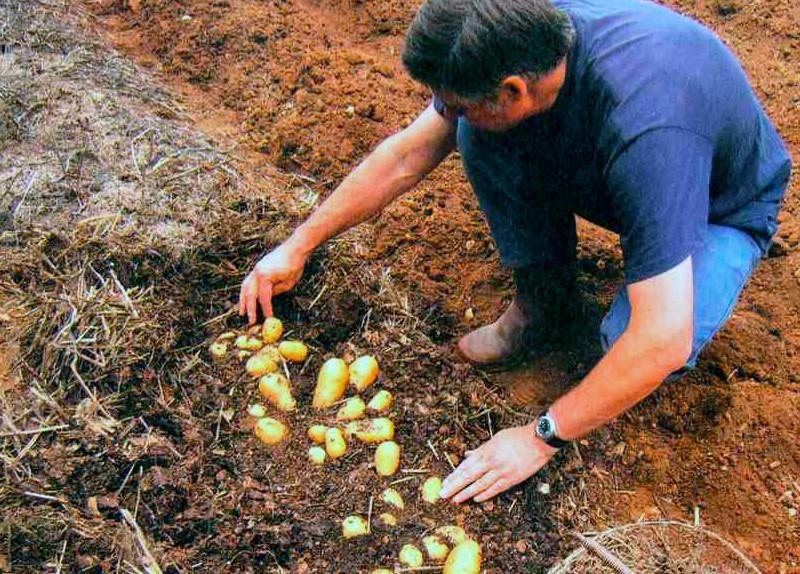 Выращивание картофеля с умом без прополки и окучивания 11