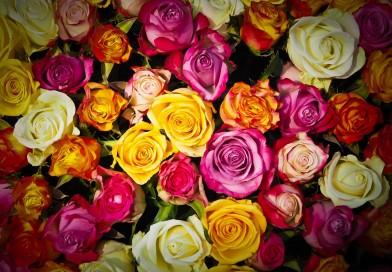 Выращиваем розы в парниках и теплицах на продажу. Заработок с приятным ароматом