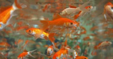акваримум рыбка рыба