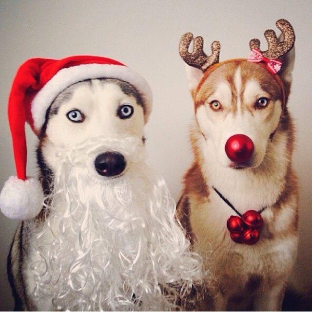 Husky-Funny-Christmas-(09)