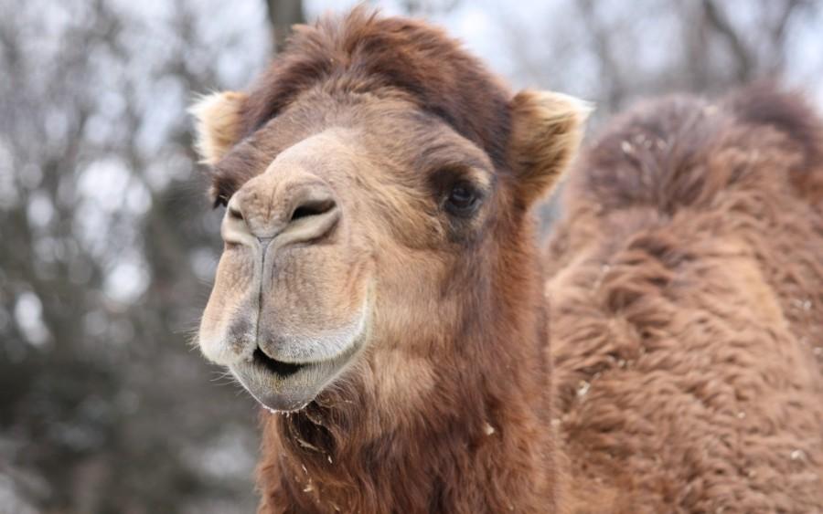 Одногорбый верблюд — Википедия | 563x900