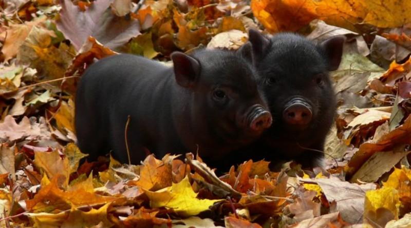 Изображение - Разведение вьетнамских свиней как бизнес zqcuX7Ptocc-800x445