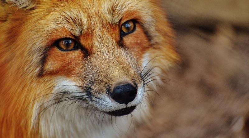 Изображение - Как открыть контактный зоопарк fuchs-hobiz-1310826_1280-800x445