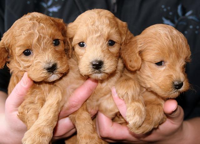 Изображение - Как открыть контактный зоопарк puppies-hobiz-688425_640