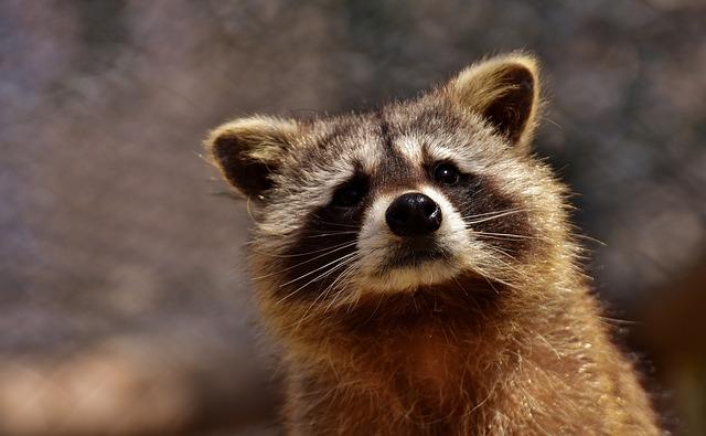 Изображение - Как открыть контактный зоопарк raccoon-hobiz-2183746_640